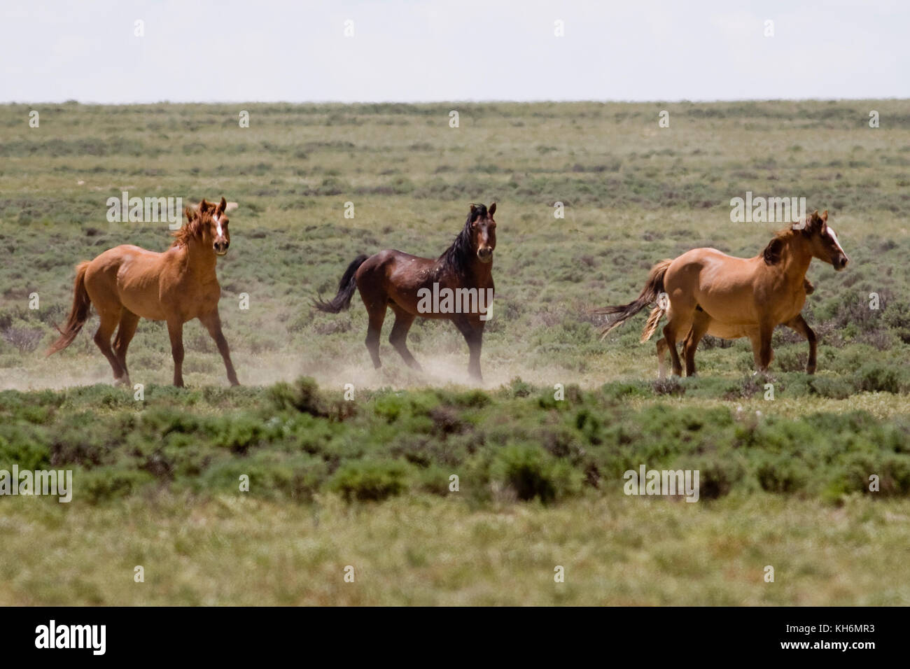 Wild horses on BLM land, Wyoming - Stock Image
