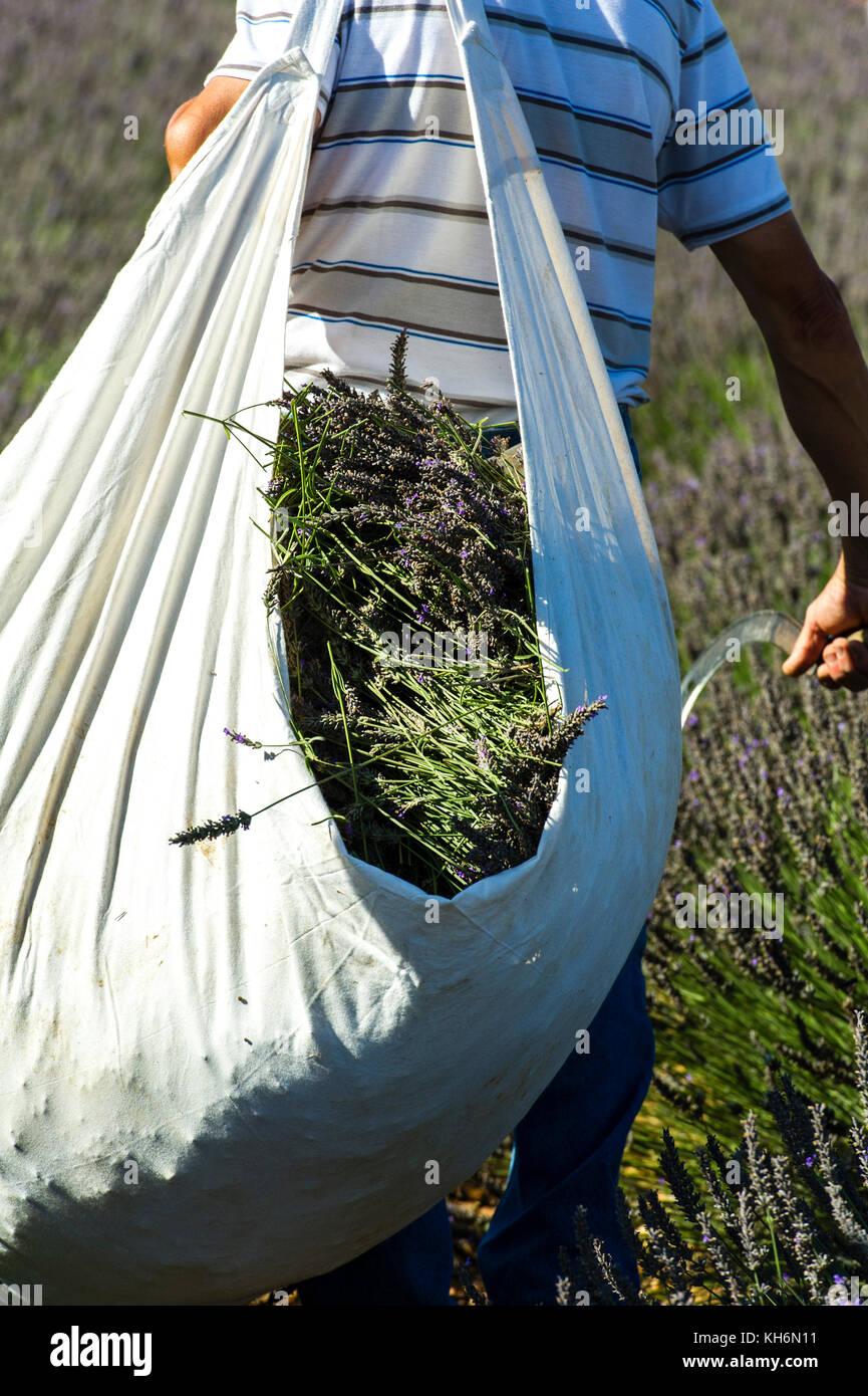 Europe, France, Vaucluse, (84), Pays de Sault. Lavender festival, picking, detail. - Stock Image