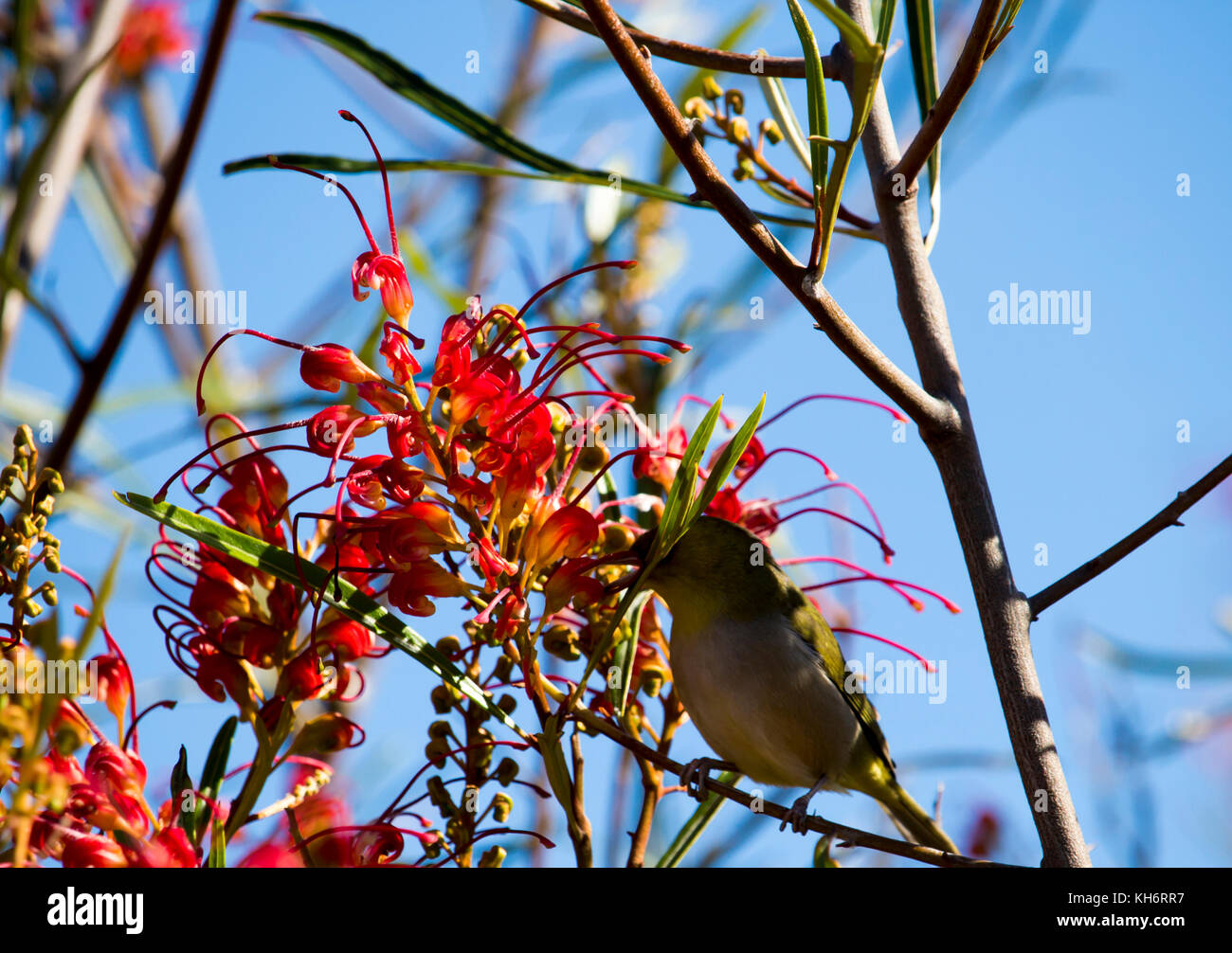 Silvereye or Wax-eye (Zosterops lateralis)  a small omnivorous passerine bird of Australia  perching in a red grevillea - Stock Image