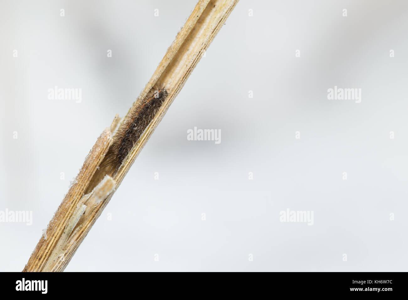 Hibernating clouded buff moth caterpillar - Stock Image