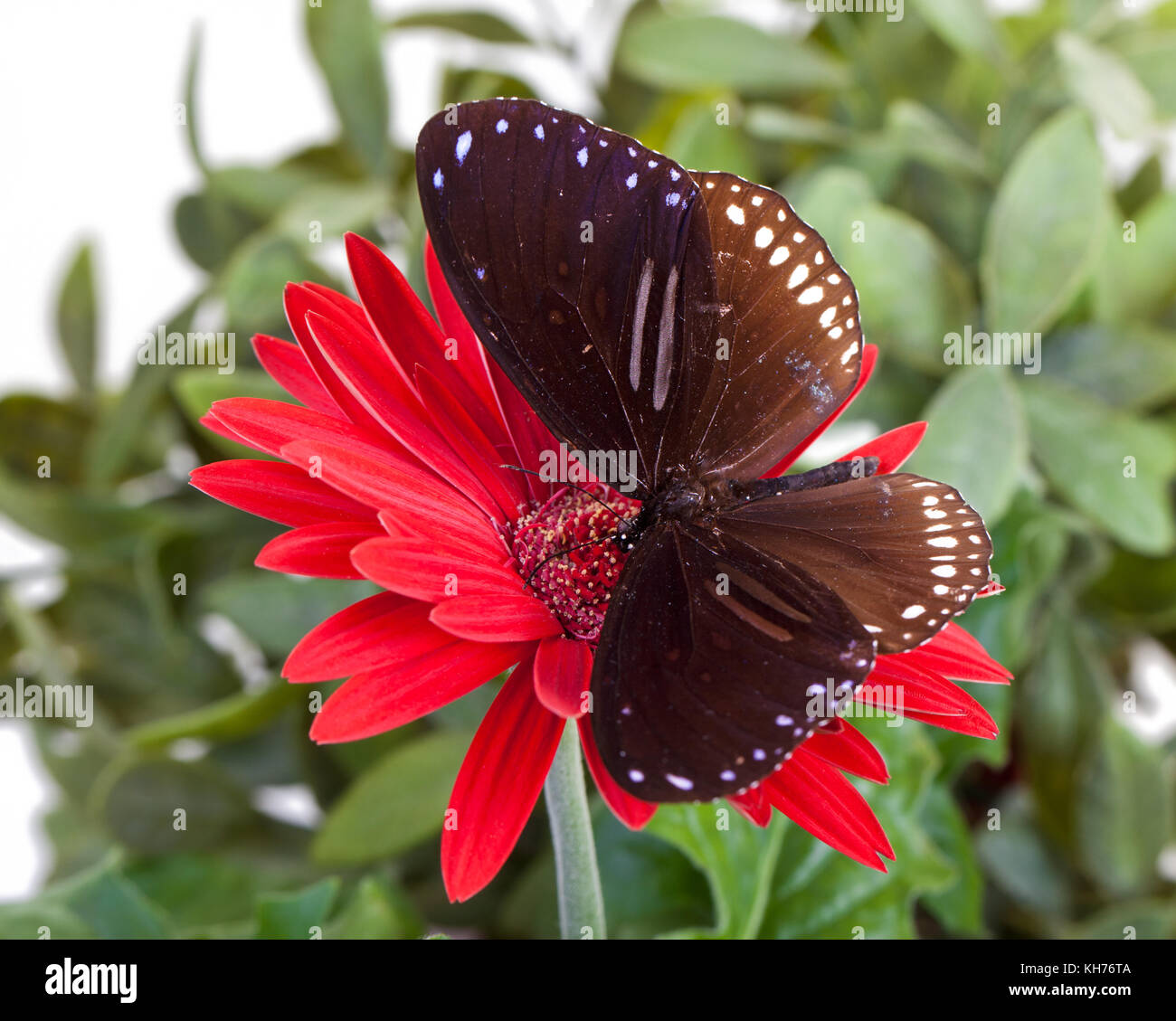 Striped Blue Crow Butterfly (Euploea sylvester harrisii) on Red Gerbera Daisy - Stock Image