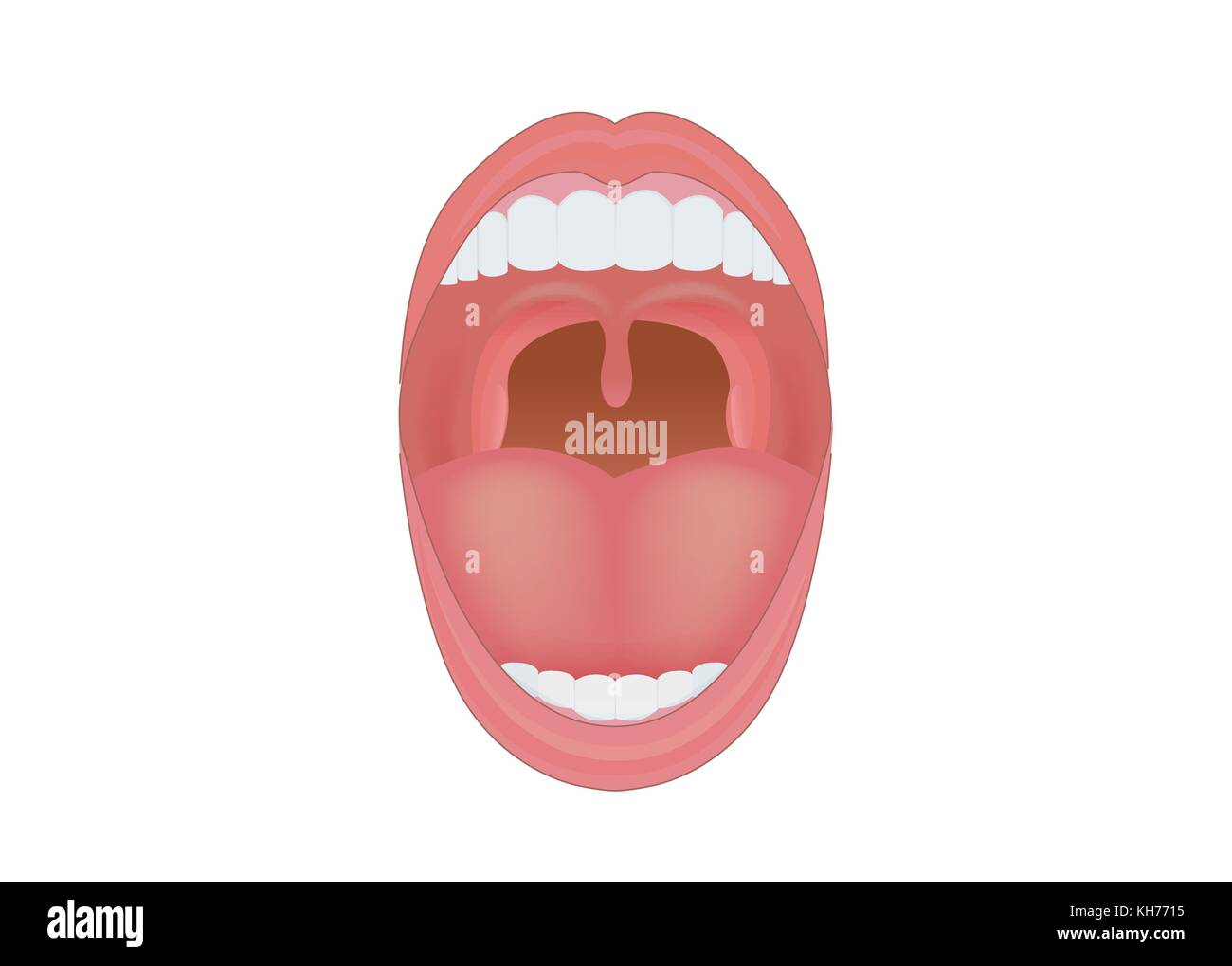 Diagram tongue stock photos diagram tongue stock images alamy human mouth opened to show teeth gum and tongue inside stock image ccuart Choice Image
