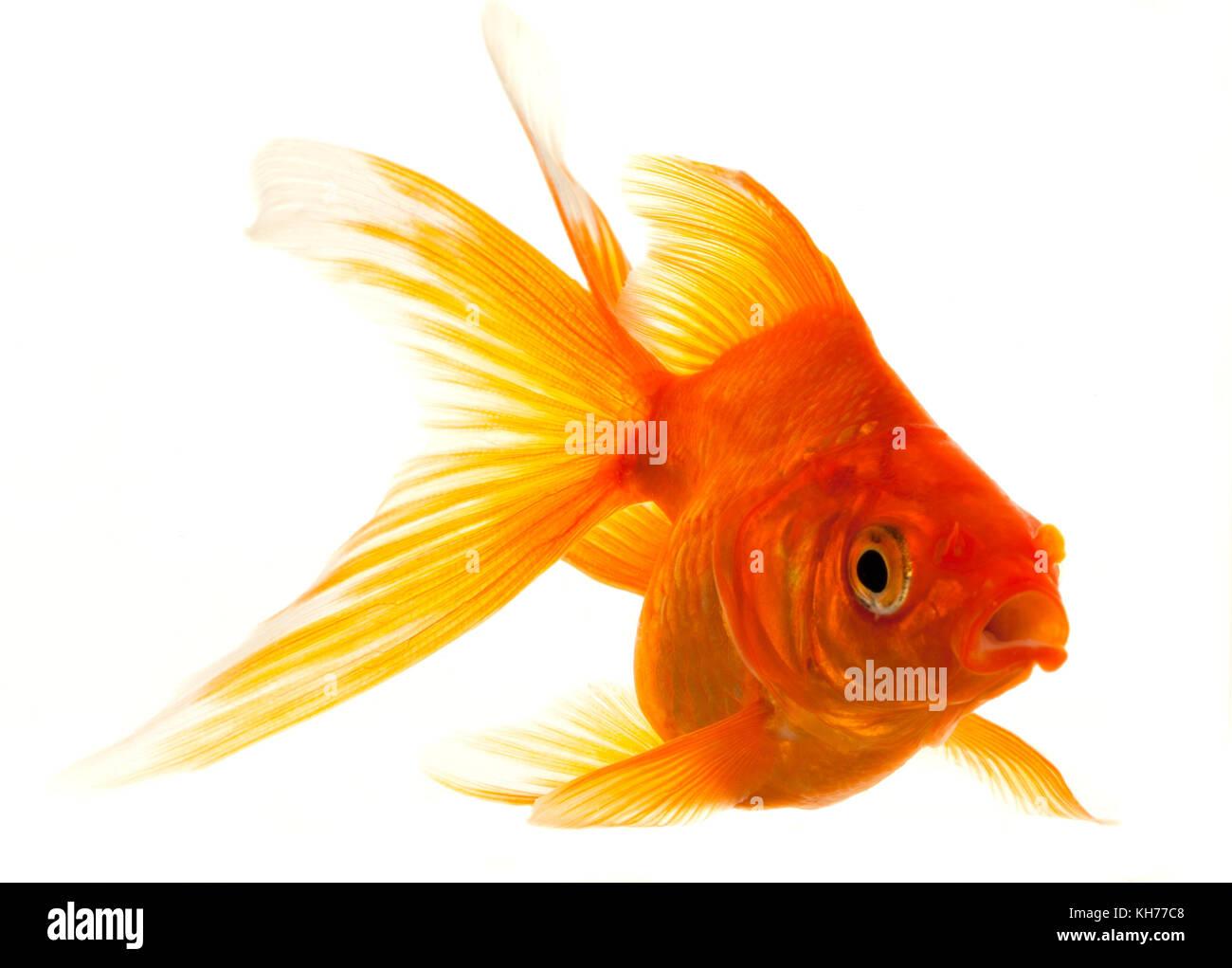Isolated Approaching Goldfish swimming towards camera, close-up on white Stock Photo