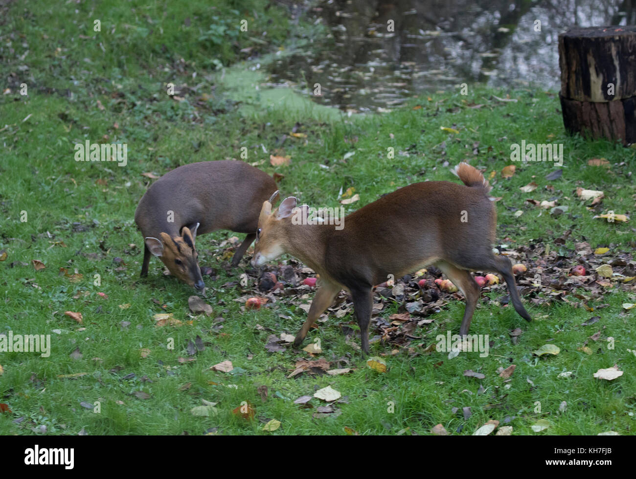 Male muntjac Muntiacus reevesi also called barking deer showing aggression towards young male - Stock Image