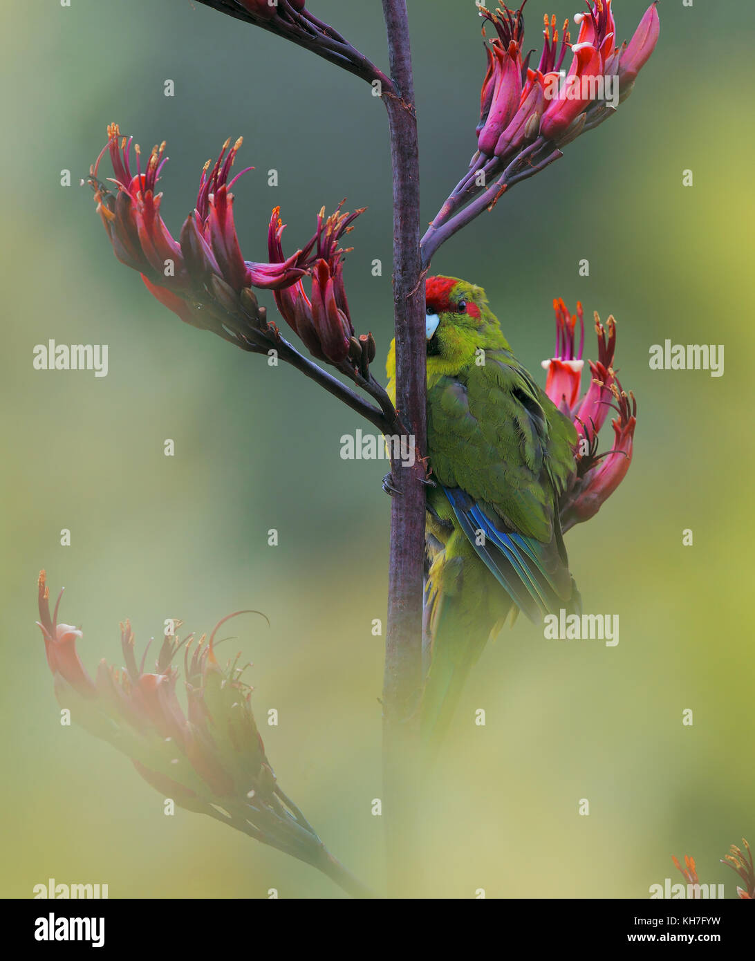 Red-fronted Parakeet on Phormium - Stock Image