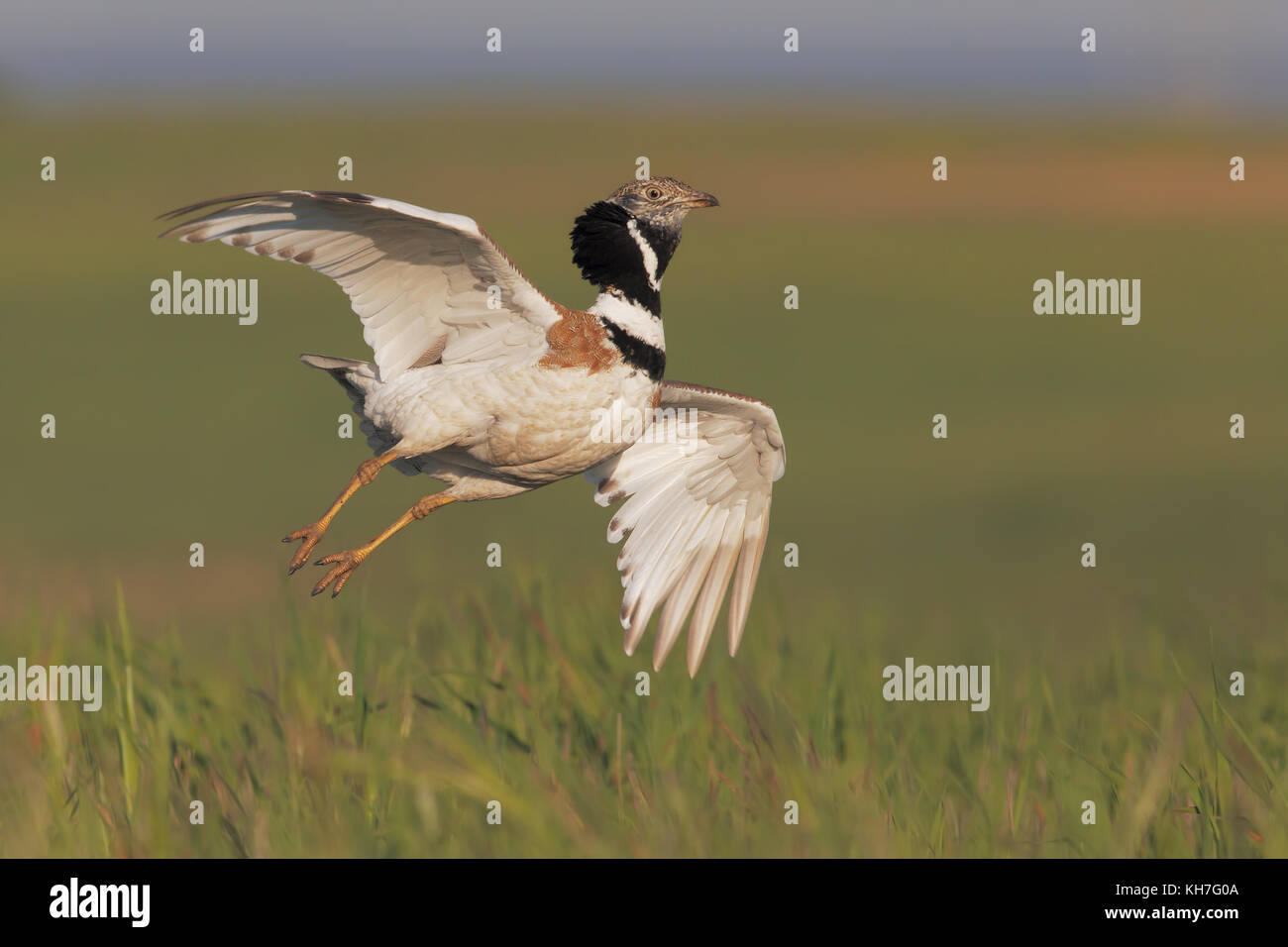 Little bustard jumping in the arena - Stock Image