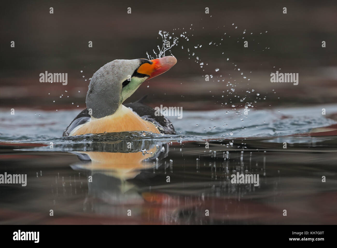 King eider dripping water - Stock Image