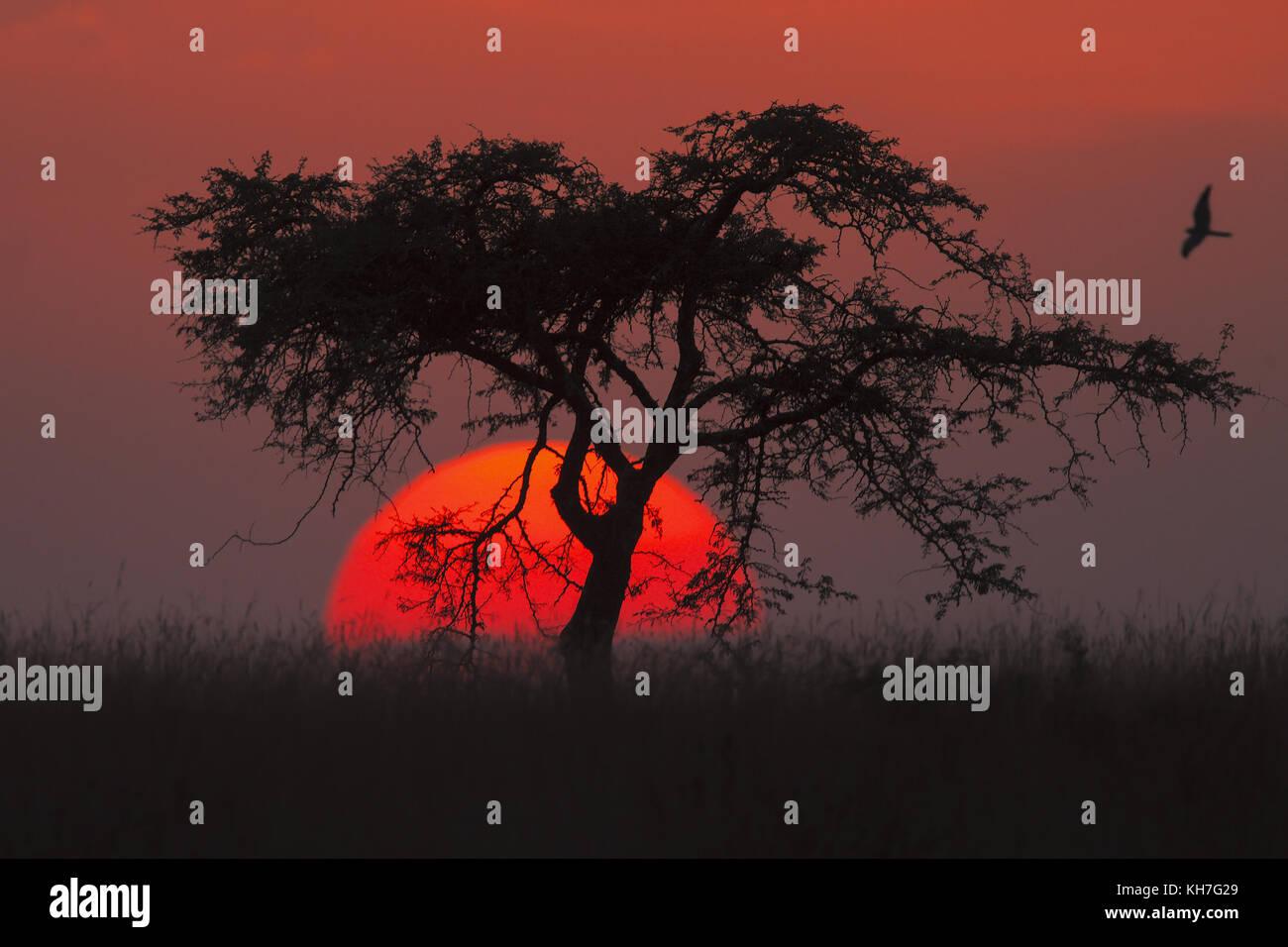 Nightjar at sunset - Stock Image