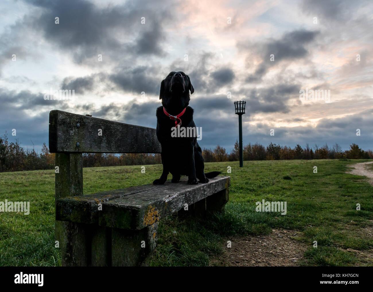 Labrador sat on bench during Nottinghamshire Sunrise - Worksop - Shireoaks - Rhodesia - Stock Image