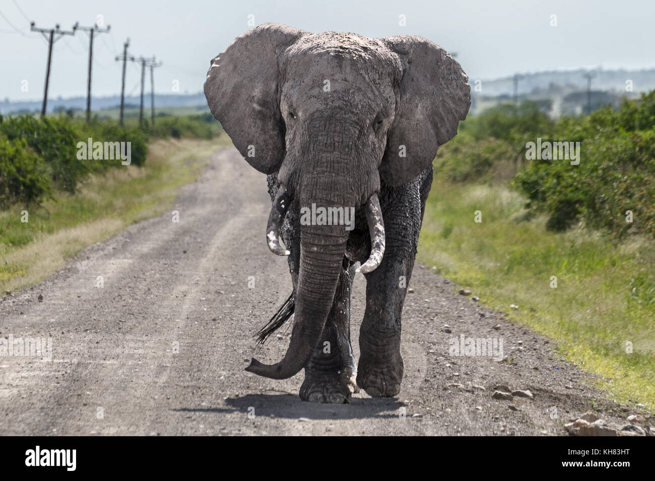 Bull Elephant walking along the road after our vehicle making sure we knew to move on, 'Queen Elizabeth National - Stock Image