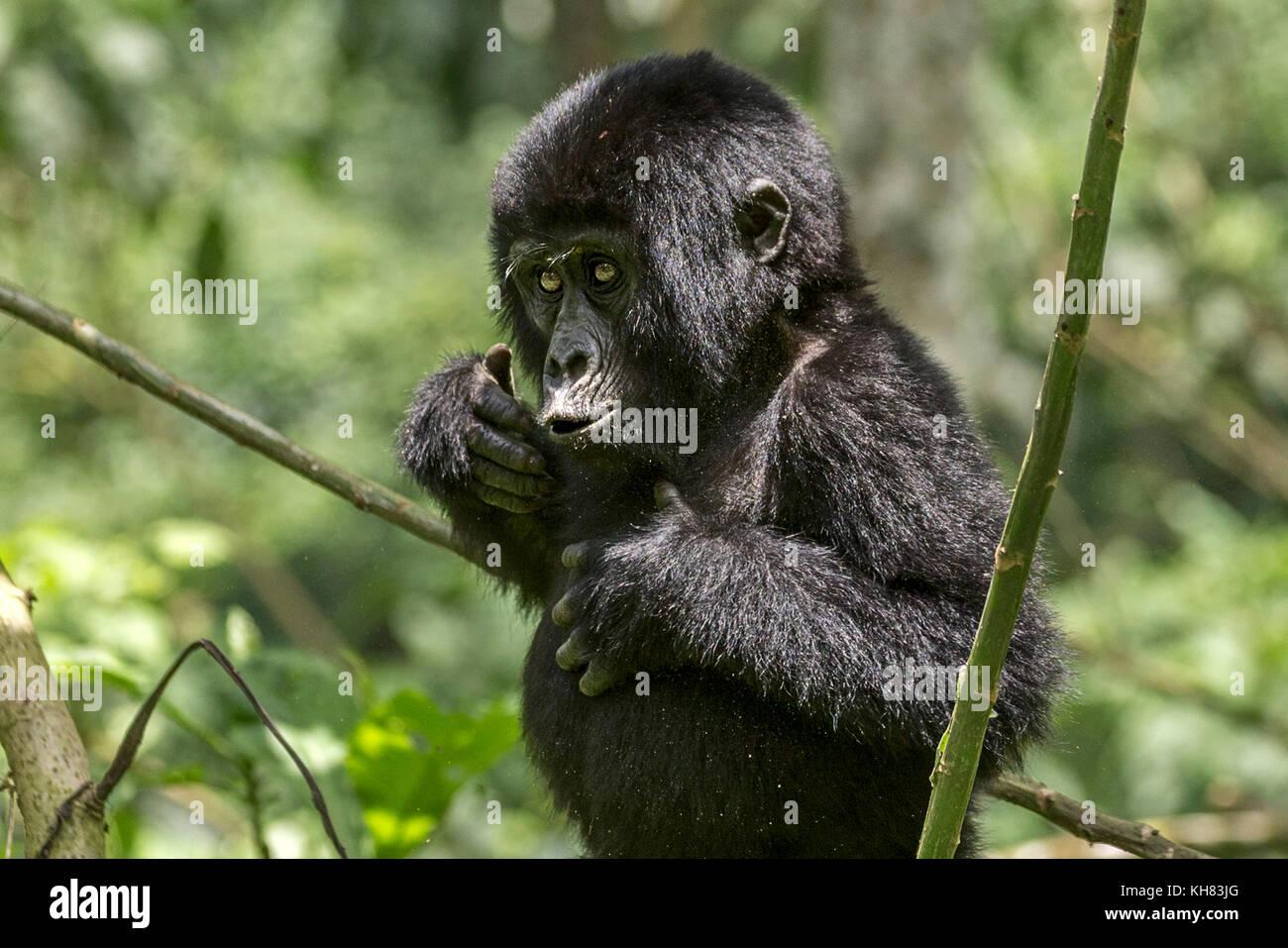 "Infant Mountain eastern gorilla (Gorilla beringei beringei).Mimicking adult by beating his chest, ""Bwindi Impenetrable Stock Photo"