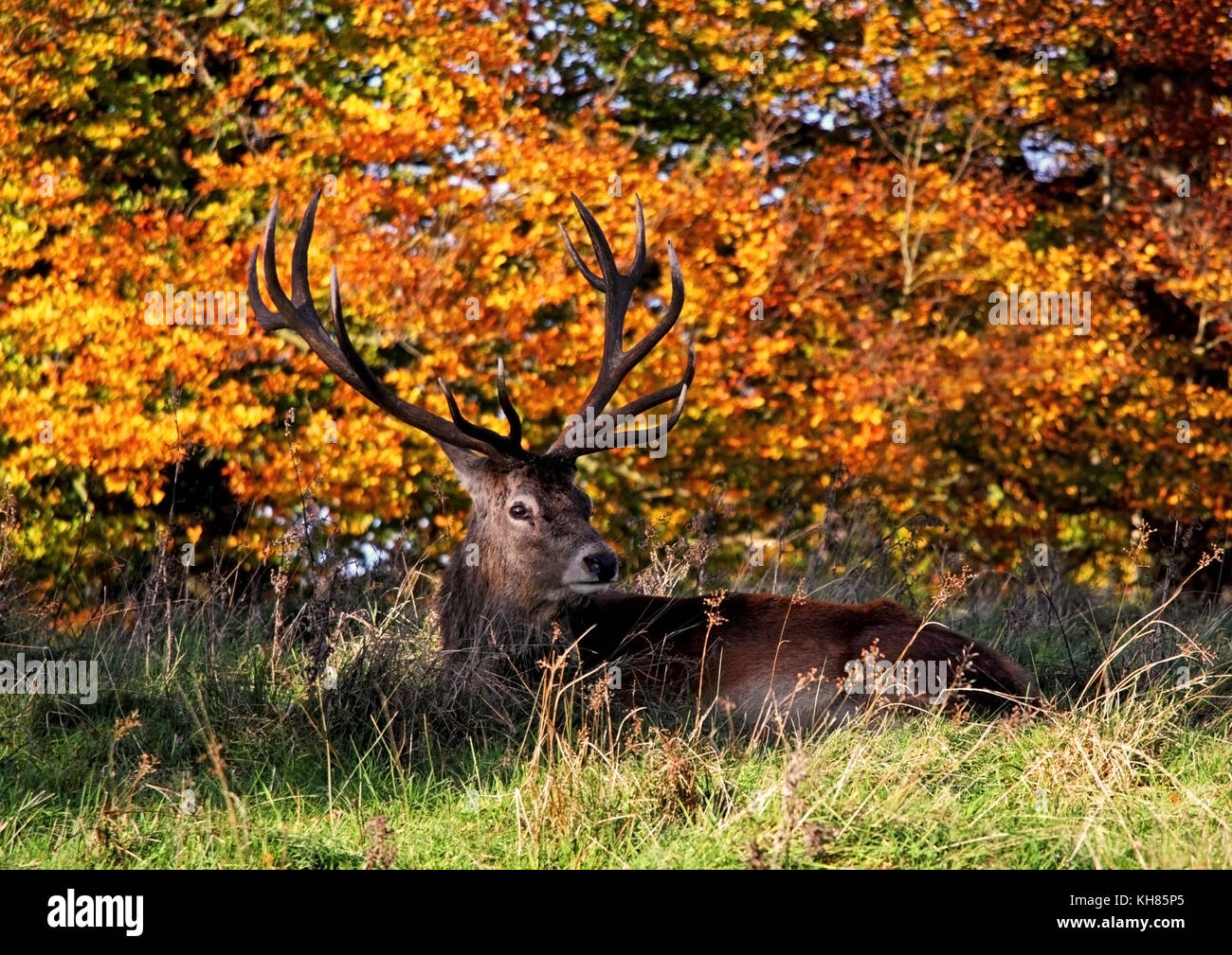 Red Deer Stag #2 Stock Photo