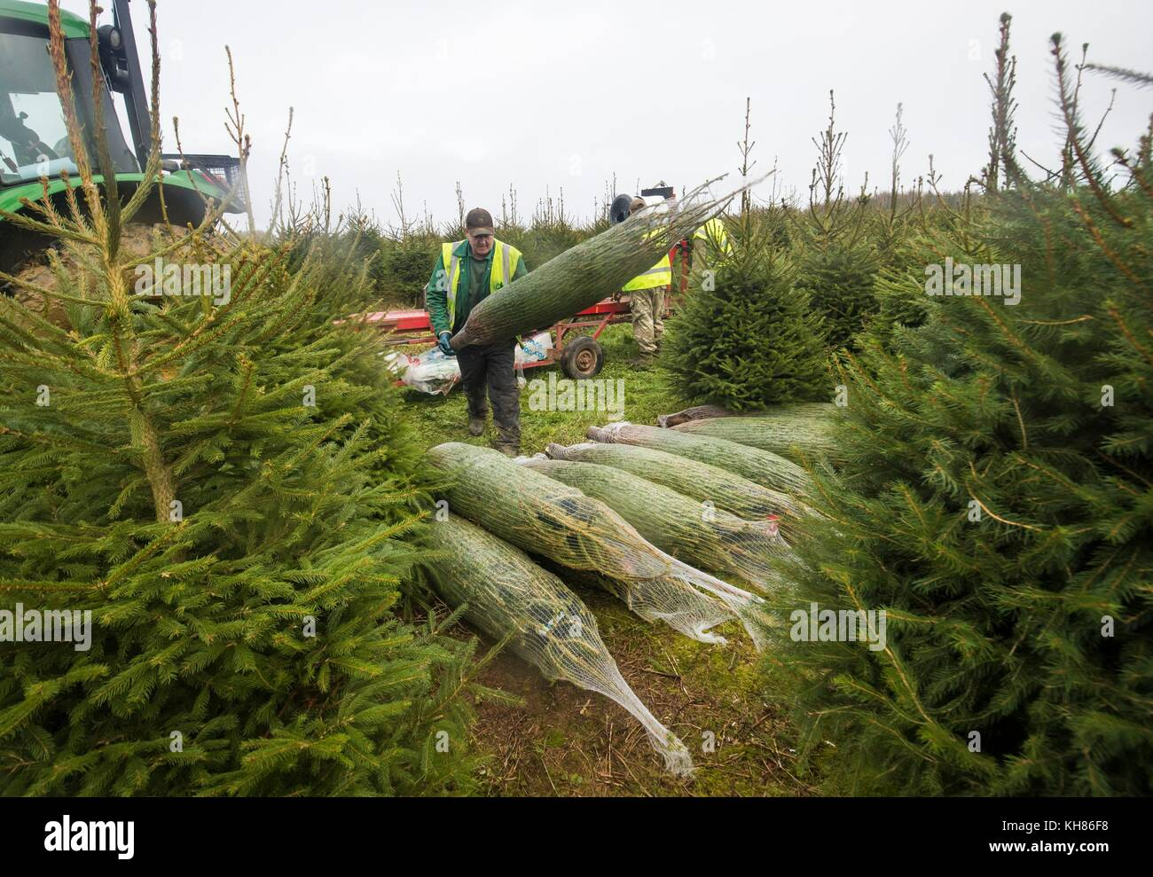 A Forestry Commission employee nets sustainably grown Christmas ...