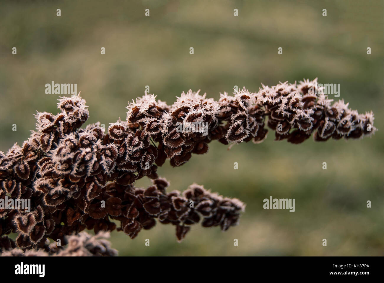 Inflorescence of horse sorrel (Rumex confertus) in late autumn in the frost - Stock Image