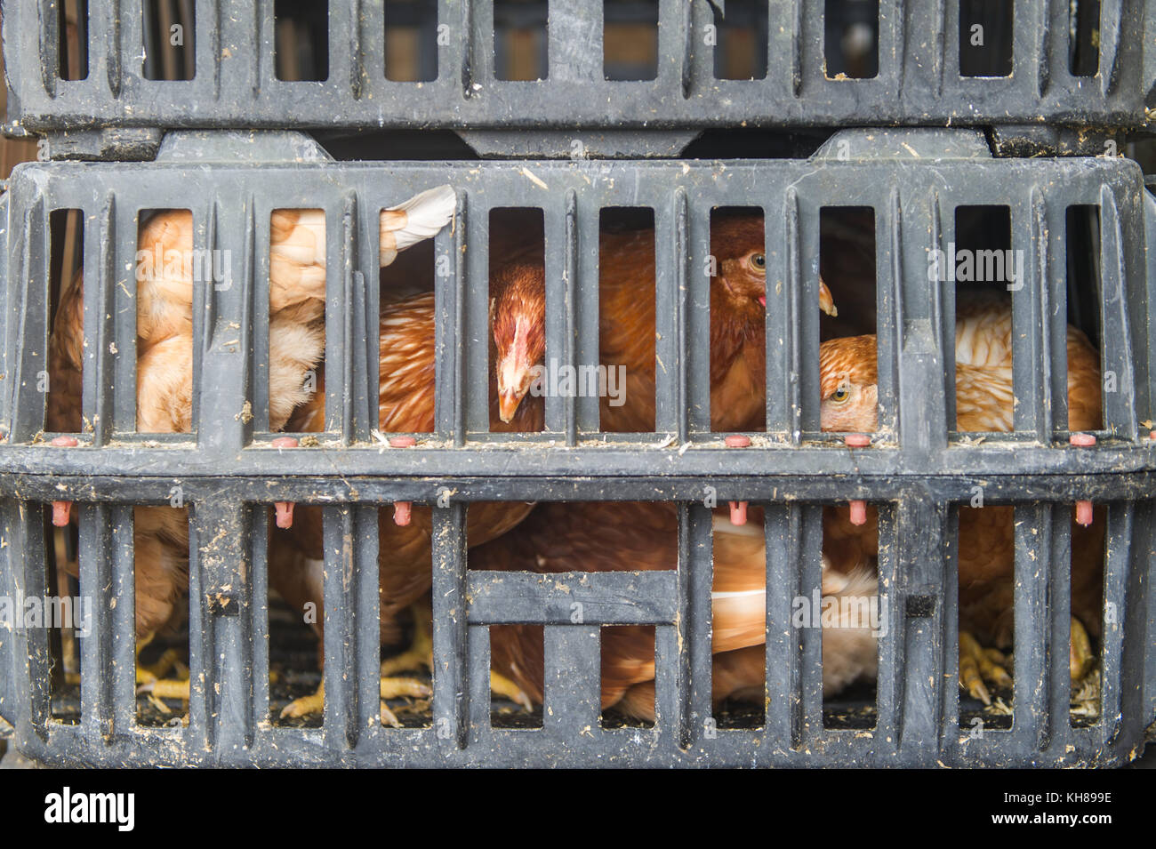 Hens in a grey crate ready for sale at Skibbereen Farmers Market, Skibbereen, County Cork, Ireland. - Stock Image