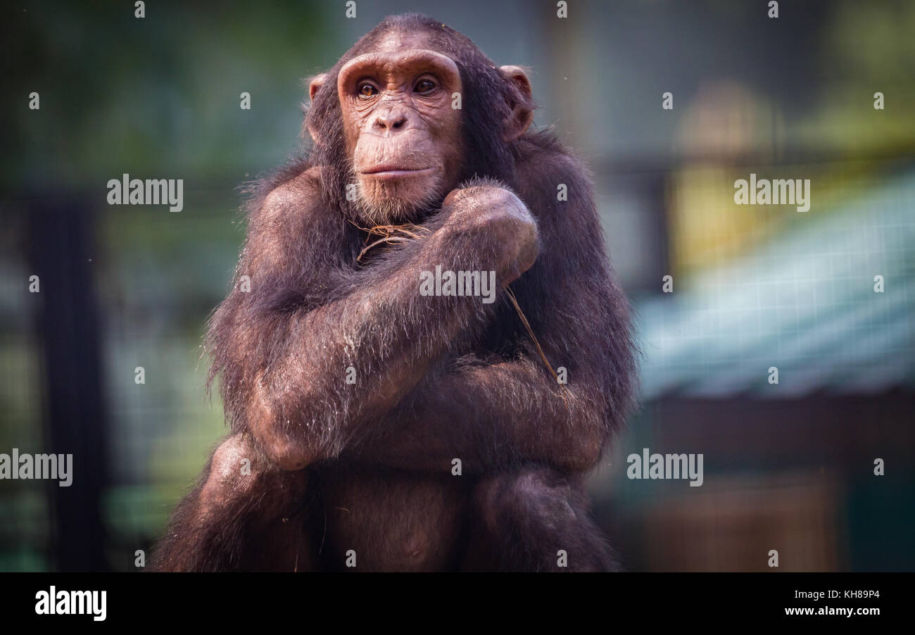 Chimpanzee with a cute thoughtful expression. Chimps are primates that exhibit behavioral traits close to that of - Stock Image