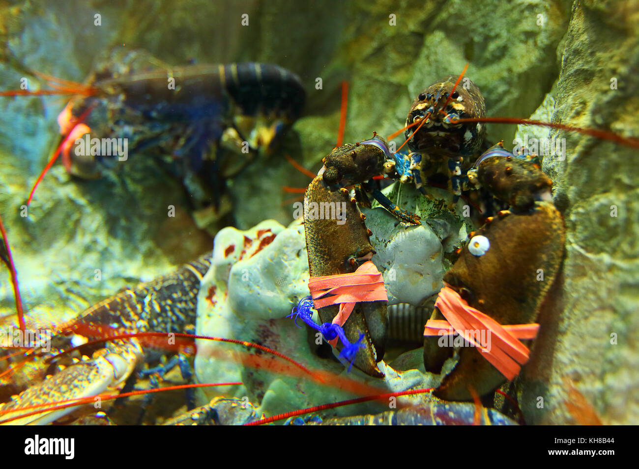 Lobsters in a fish pond. - Stock Image