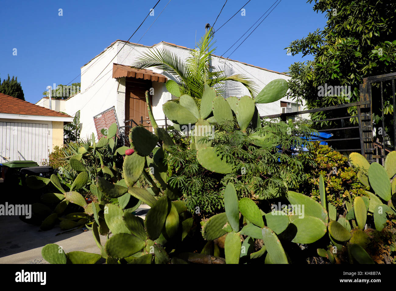 Nopal cactus plant growing outside a house in Los Feliz, Los Angeles, California USA  KATHY DEWITT - Stock Image