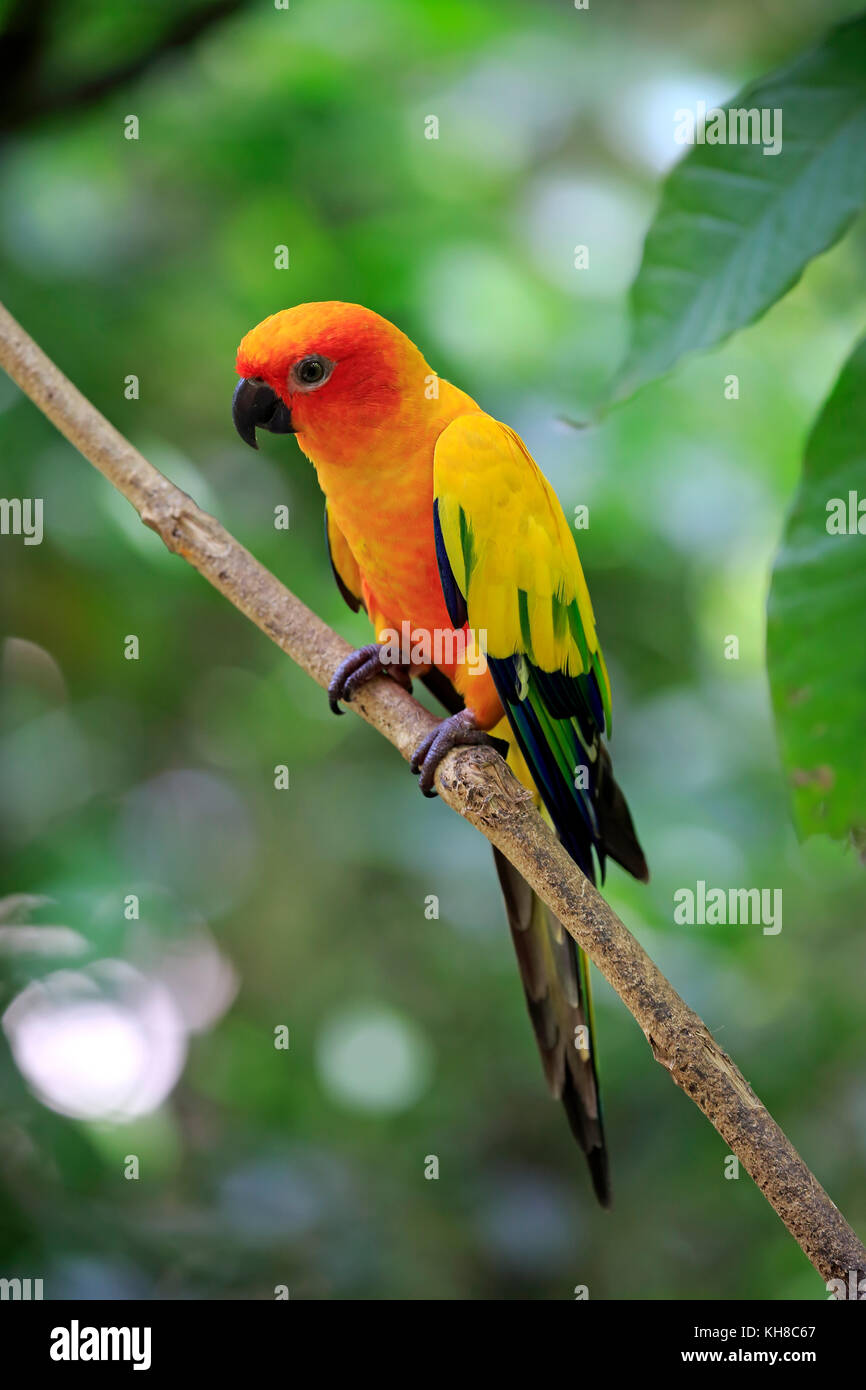 Sun conure (Aratinga solstitialis), adult on branch, captive, occurrence South America - Stock Image