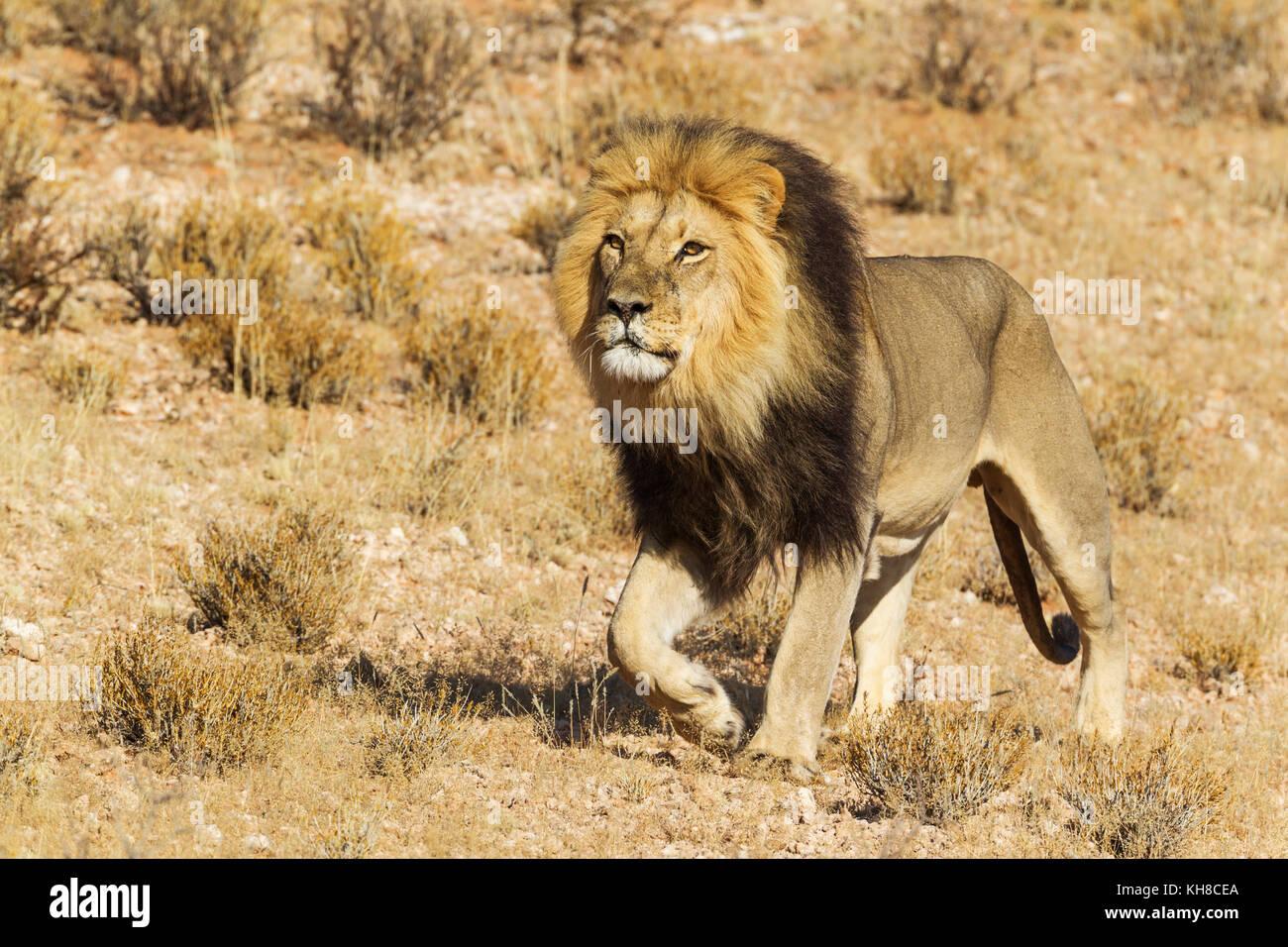 Black-maned Lion (Panthera leo vernayi), male, roaming, Kalahari Desert, Kgalagadi Transfrontier Park, South Africa - Stock Image