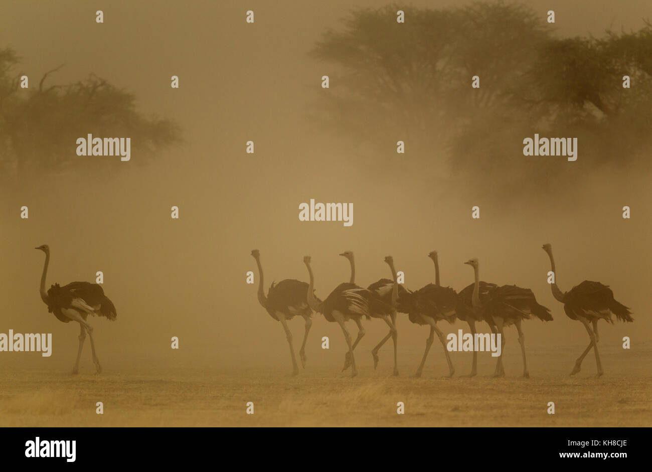 Ostriches (Struthio camelus), female and her brood, all females in a sandstorm, Kalahari Desert, Kgalagadi Transfrontier - Stock Image