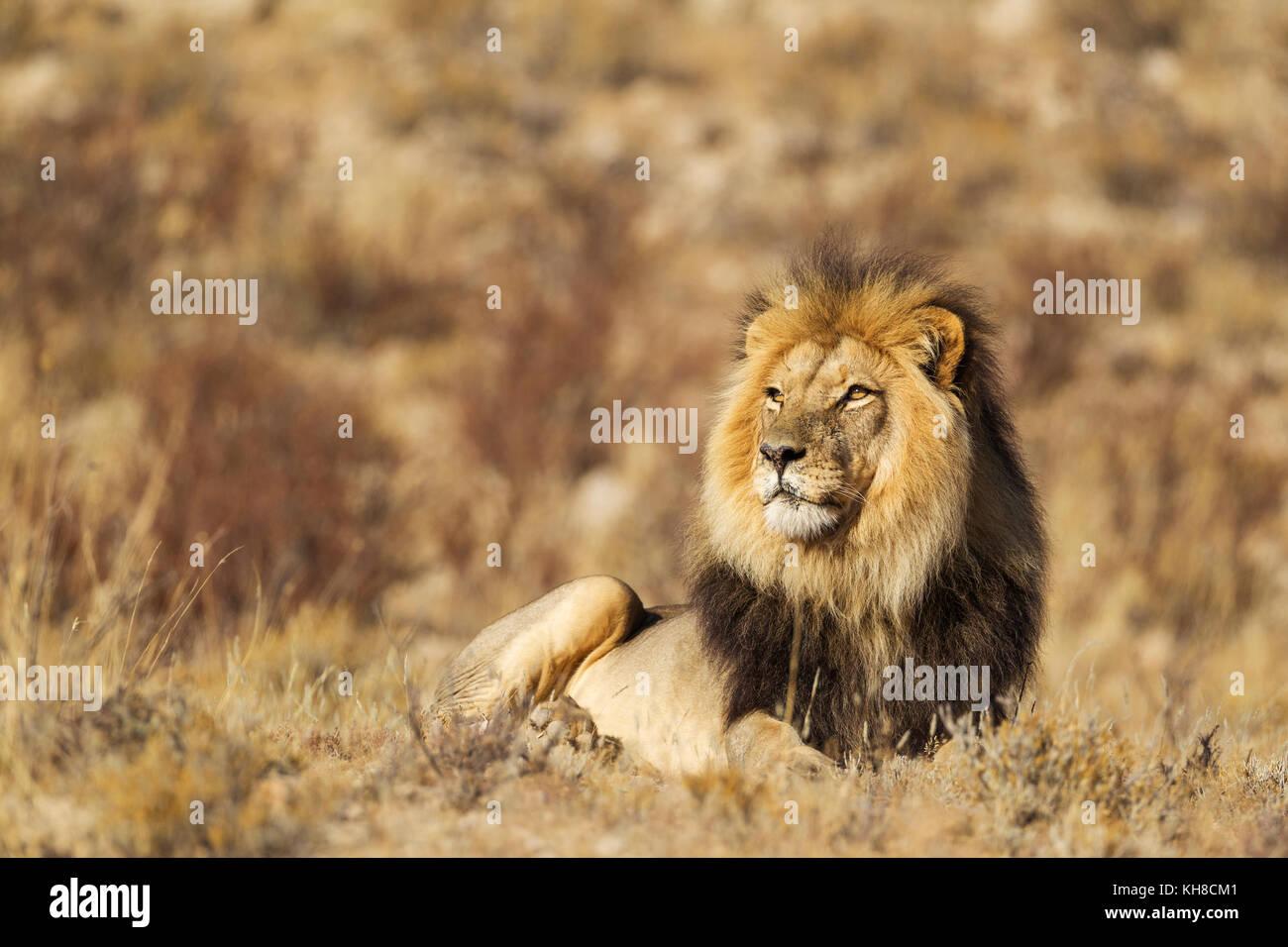 Black-maned Lion (Panthera leo vernayi), male, resting, Kalahari Desert, Kgalagadi Transfrontier Park, South Africa Stock Photo