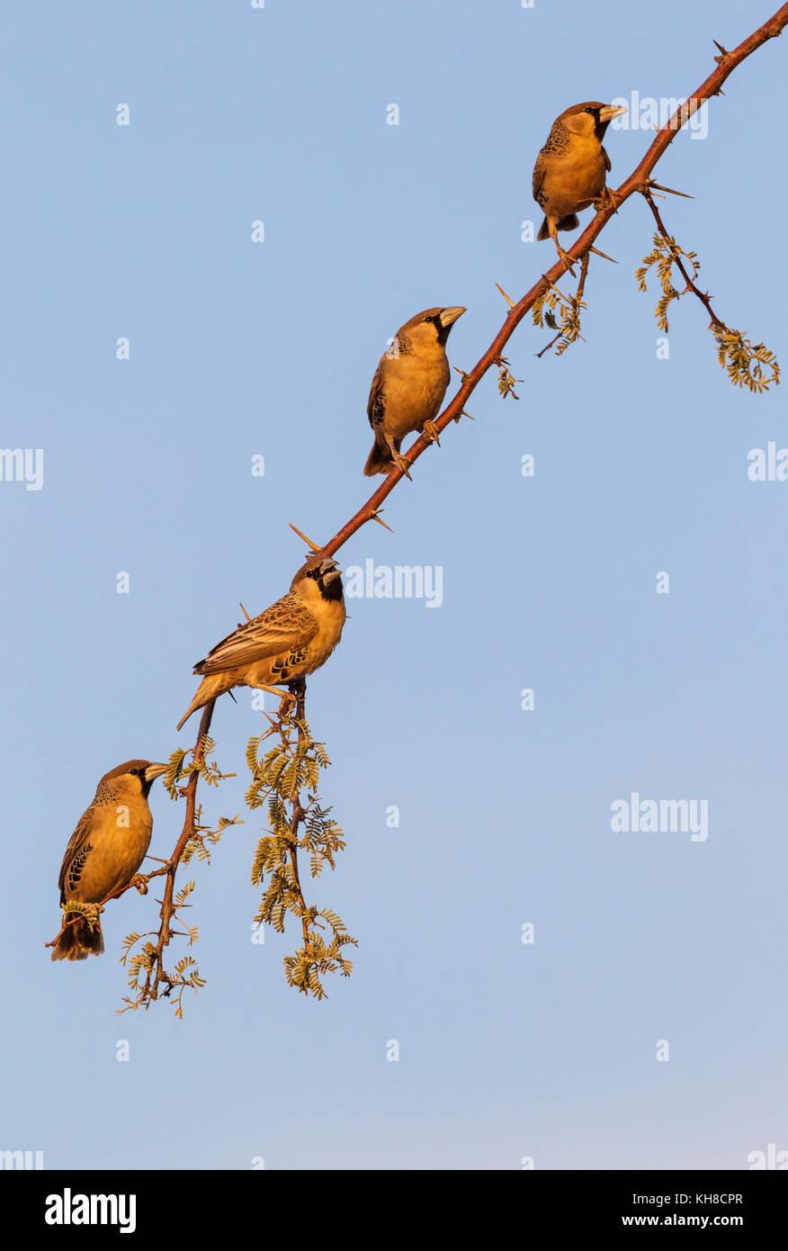 Sociable Weaver (Philetairus socius), males on a twig of camelthorn tree (Acacia erioloba), Kalahari Desert - Stock Image