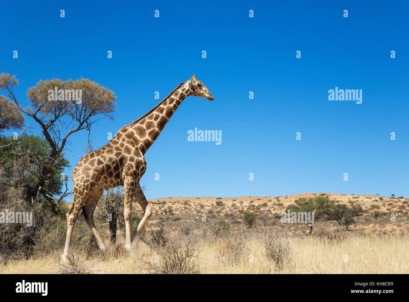 Southern Giraffe (Giraffa giraffa), aged male, Kalahari Desert, Kgalagadi Transfrontier Park, South Africa - Stock Image