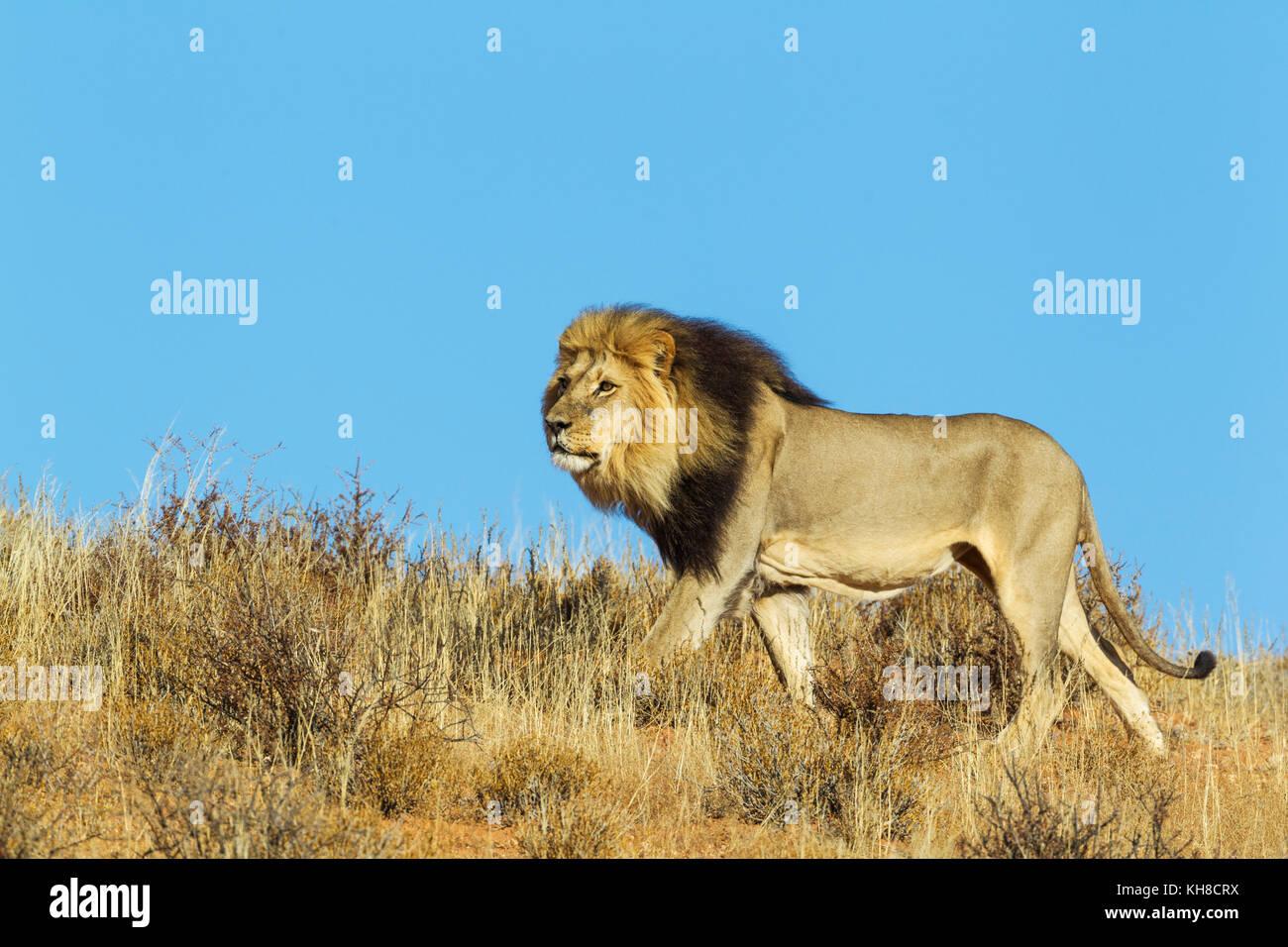 Black-maned Lion (Panthera leo vernayi), male, roaming on a grass-grown sand dune, Kalahari Desert, Kgalagadi Transfrontier - Stock Image