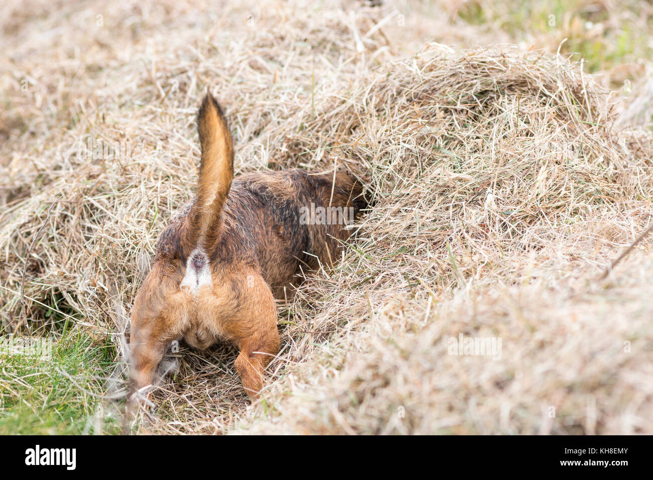 Border terrier dog hunting with head buried in hay - Stock Image