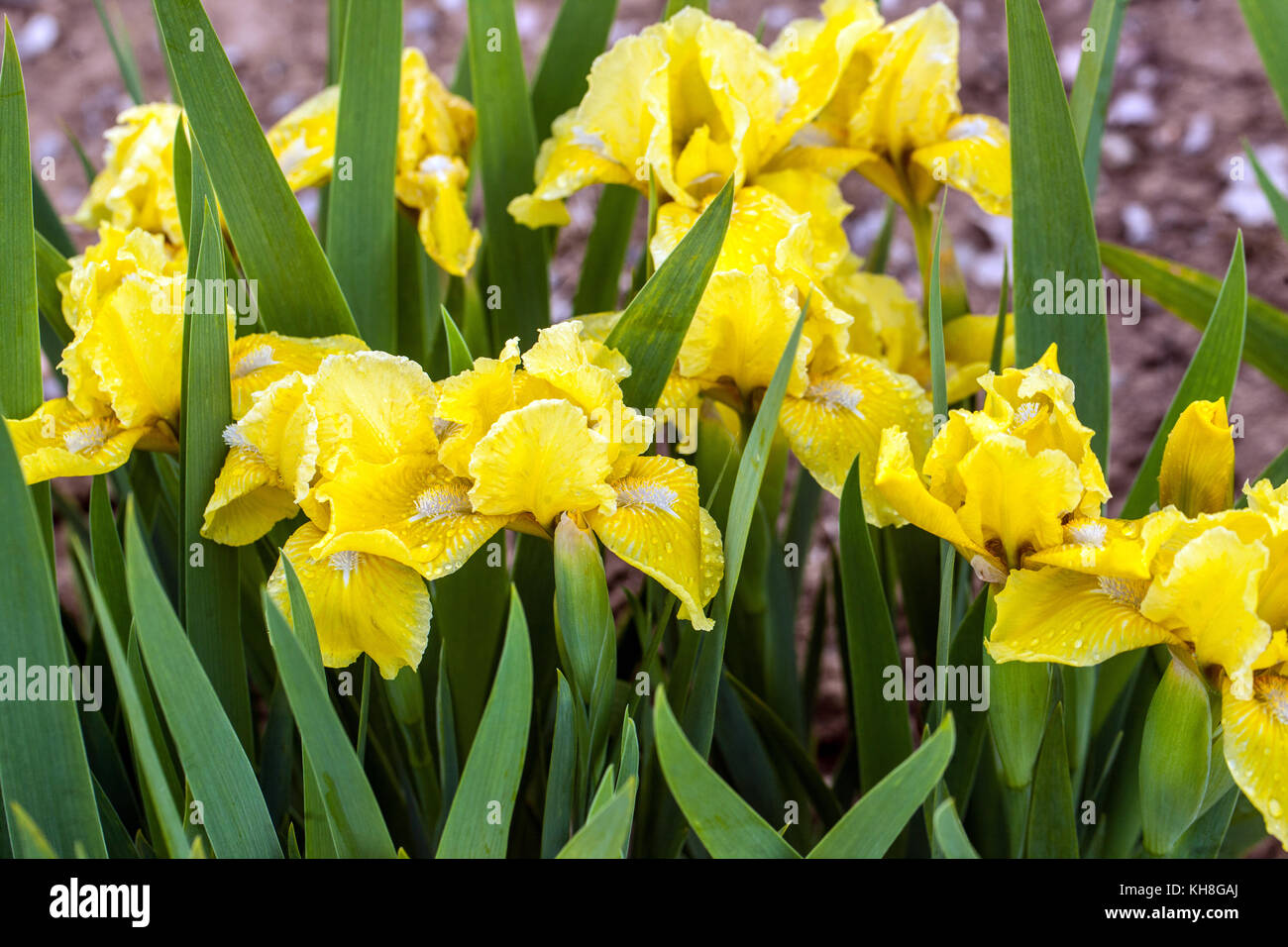 Iris flower garden sunlight stock photos iris flower garden dwarf barded iris iris barbata nana sunlight trail stock image izmirmasajfo