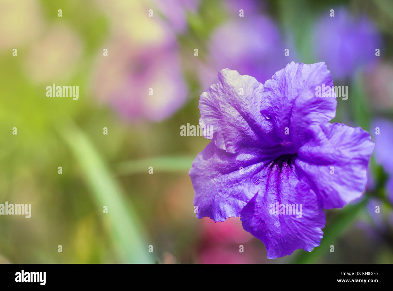purple flower close up with warm tone and blur background - Stock Image