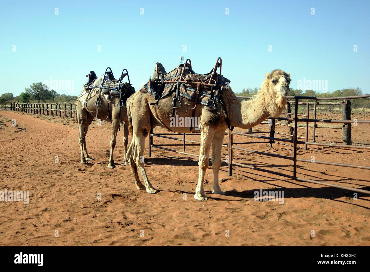 Camel Farm, Alice Springs, Australia - Stock Image