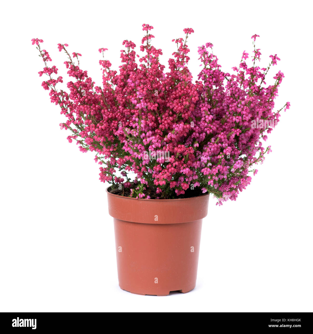 Pink Bell Flowers Stock Photos & Pink Bell Flowers Stock Images - Alamy