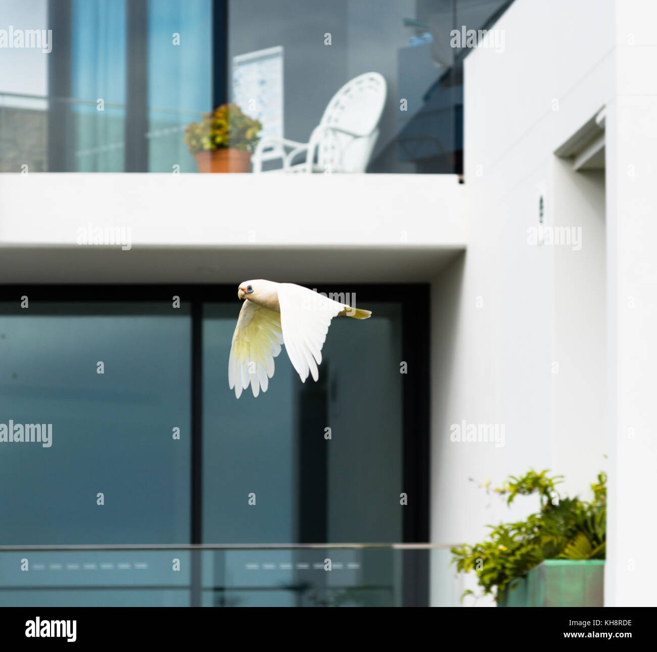 A Goffin Cockatoo flies past residential apartment balconies at Cape Byron Bay, New South Wales, Australia. Stock Photo