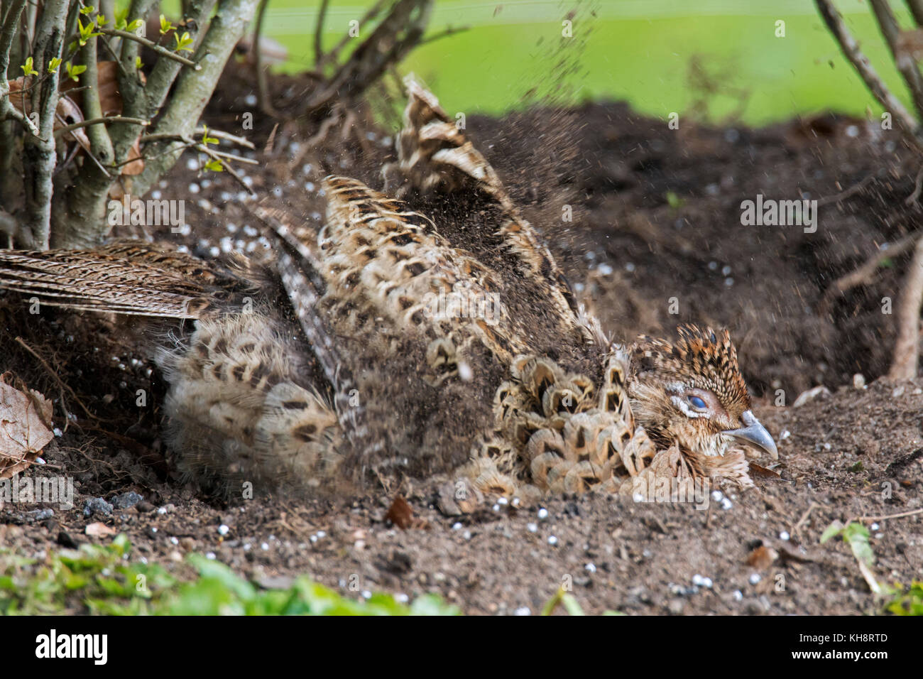 Common pheasant / Ring-necked pheasant (Phasianus colchicus) hen taking sand bath / dust bathing in spring - Stock Image