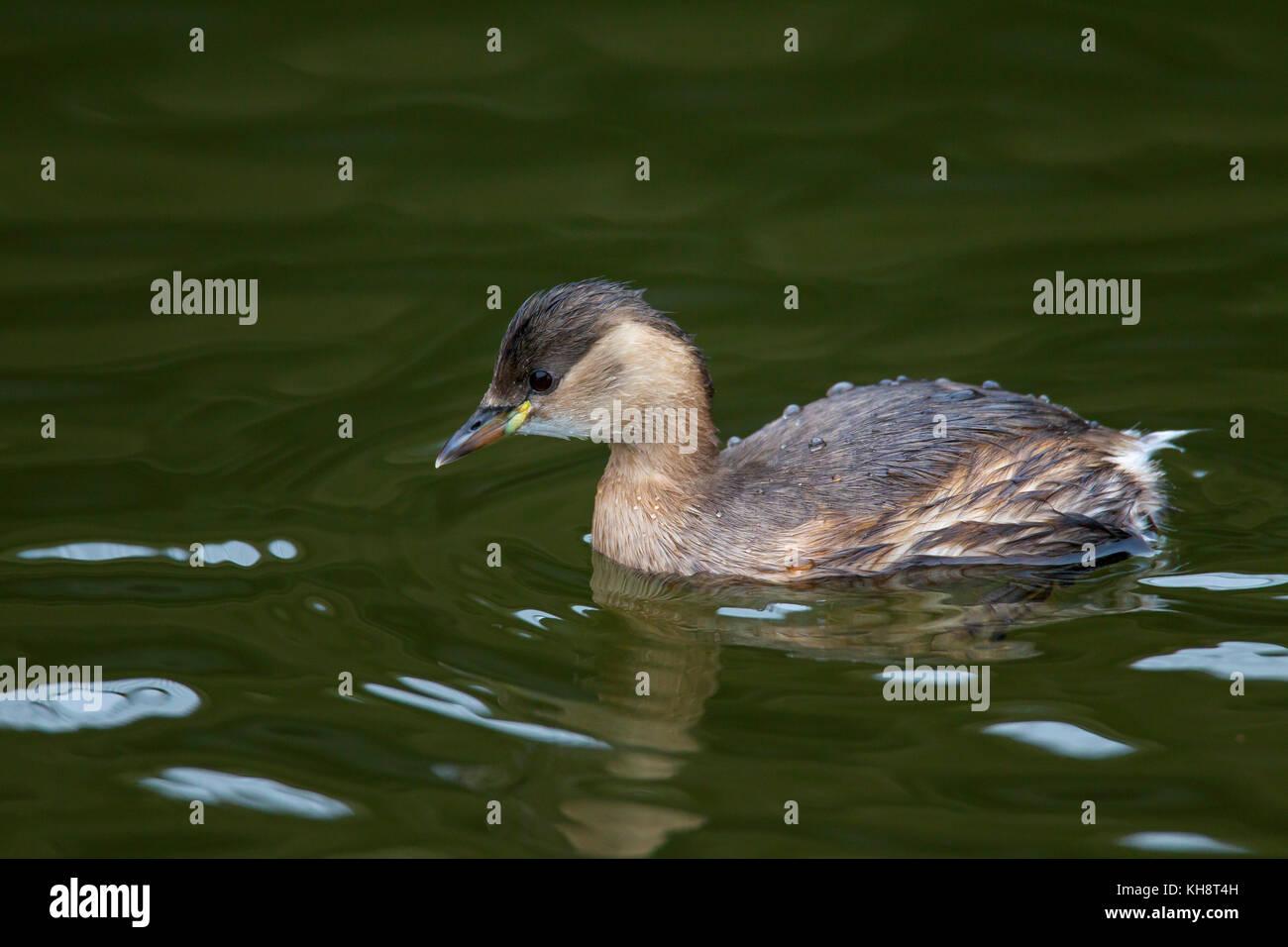 Little grebe (Tachybaptus ruficollis / Podiceps ruficollis) swimming in winter plumage - Stock Image