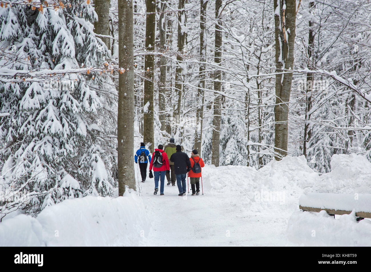 Group of walkers walking along path in mixed forest with trees covered in snow in winter - Stock Image