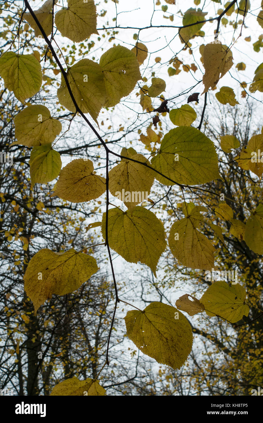 Lime Tree Leaves in Autumn Colours and Tints in Shipton under Wychwood Oxfordshire England United Kingdom UK Stock Photo