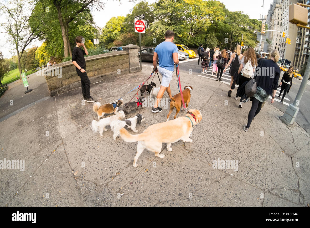 Dog walker on Fifth Avenue , New York City, United States of America. - Stock Image