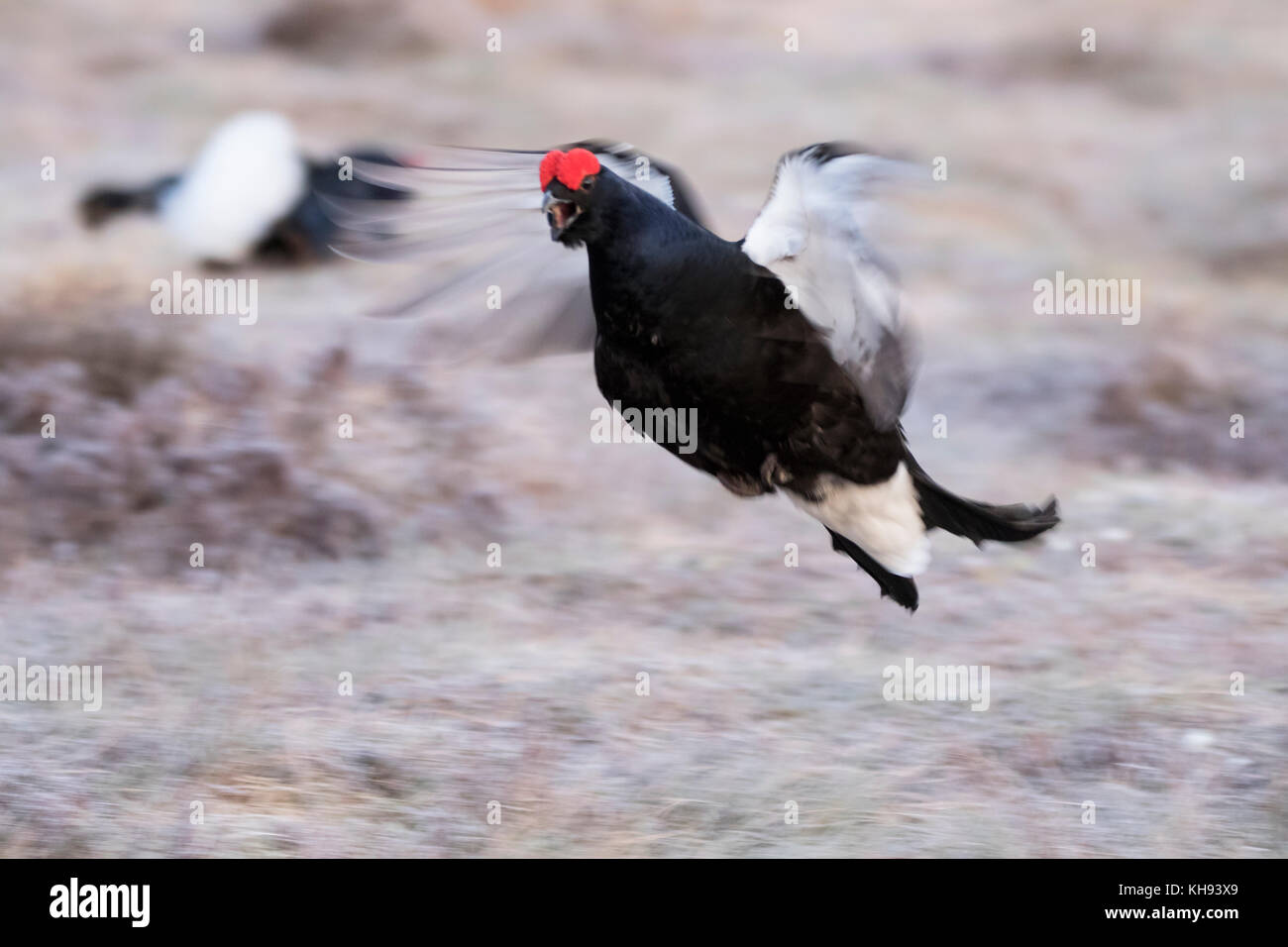 black grouse, Lyrurus tetrix, male and female during lekking on a frosty morning in Scotland - Stock Image