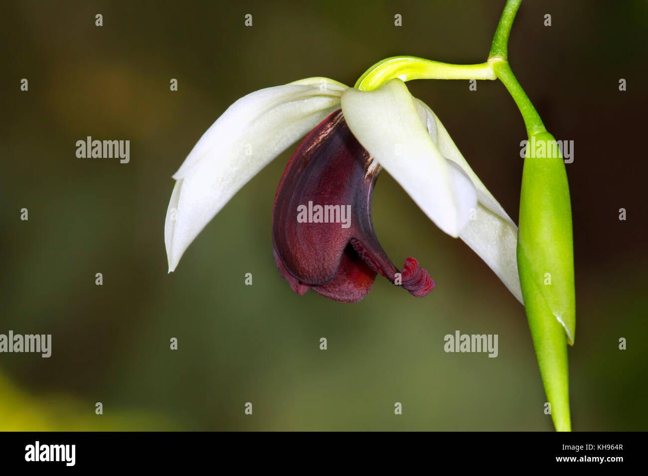 Coelogyne usitana is orchid native to the Philippine island of Mindanao - Stock Image