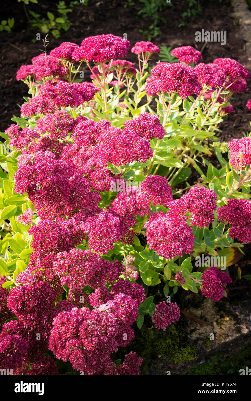 Sedum Herbstfreude flowering in September in an English garden - Stock Image