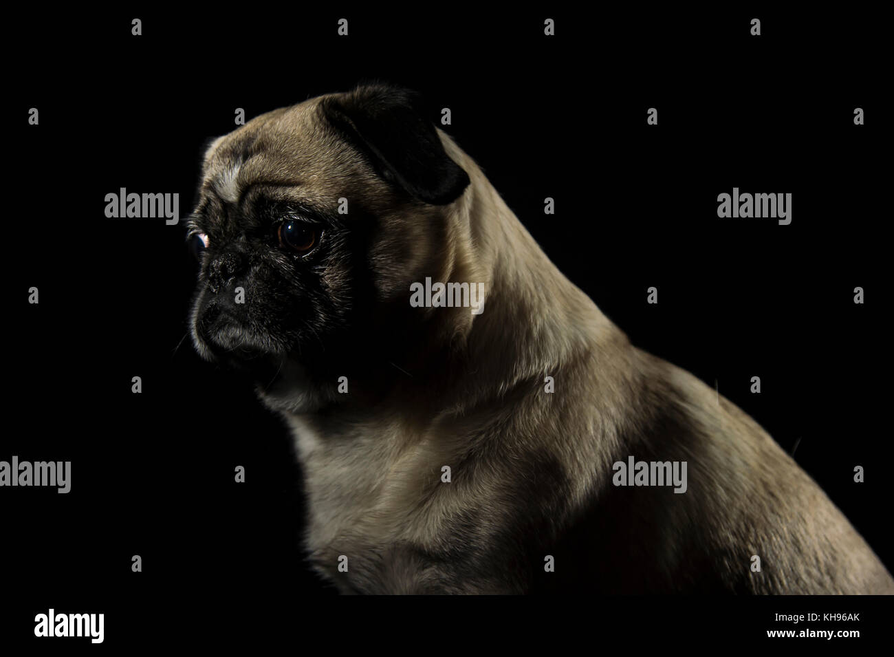 Dog pug sitting and looking to left side in front ob black background - Stock Image