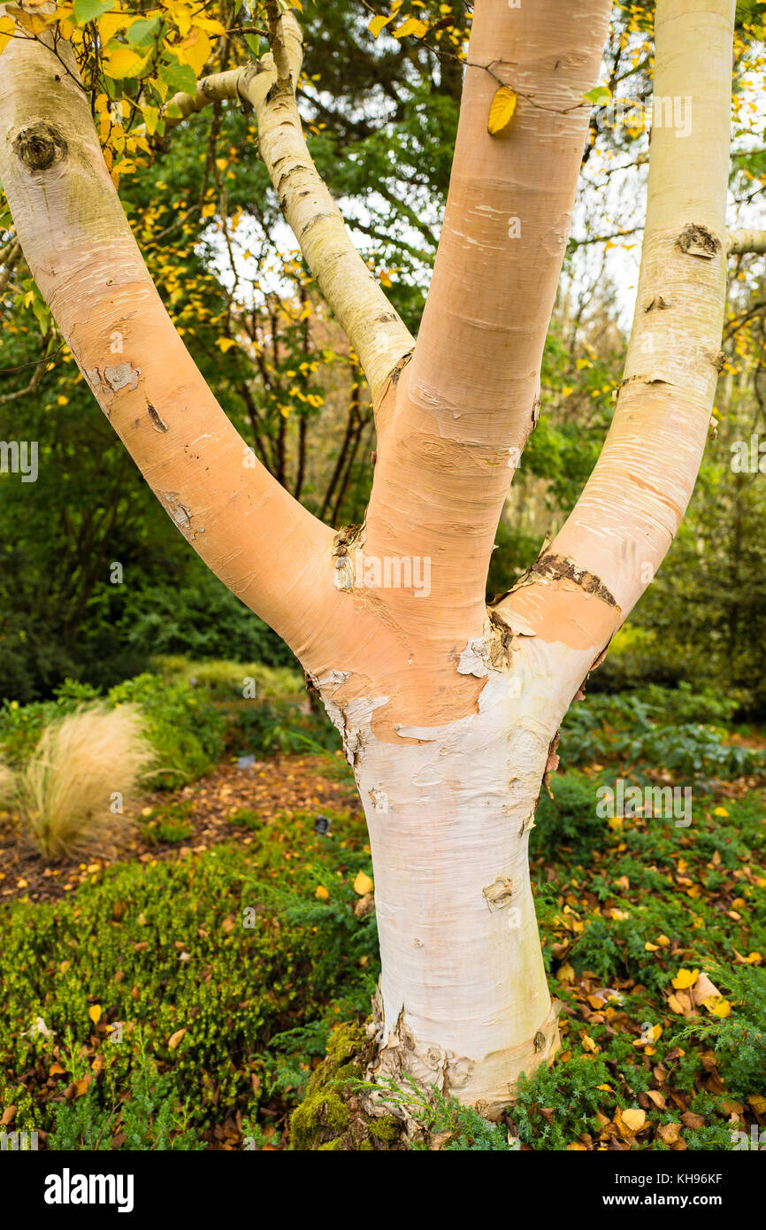 Betula costata showing characteristic bark colour and texture in October in UK - Stock Image