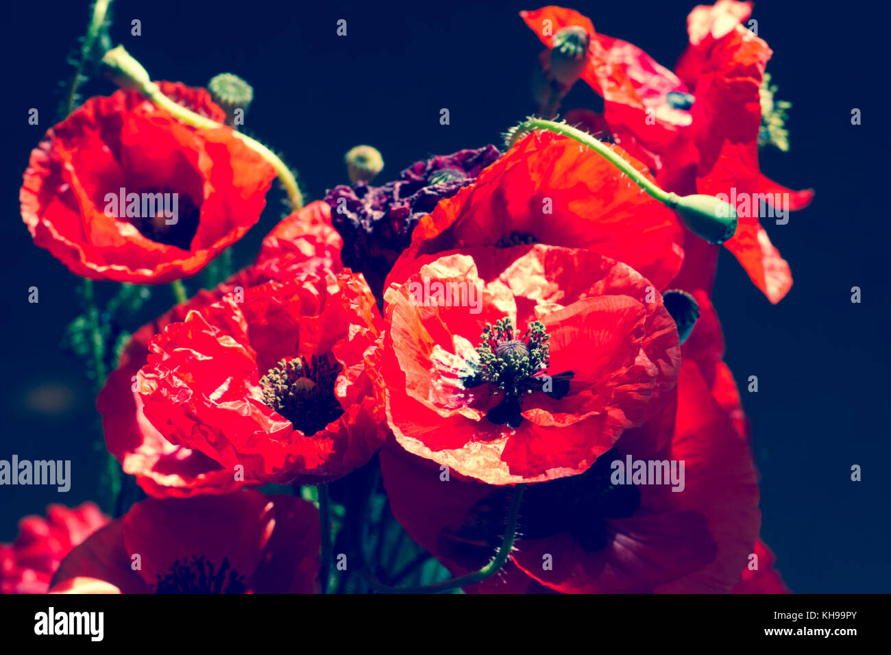 Bouquet of poppies. Red flowers sign of remembrance day. Vintage - Stock Image