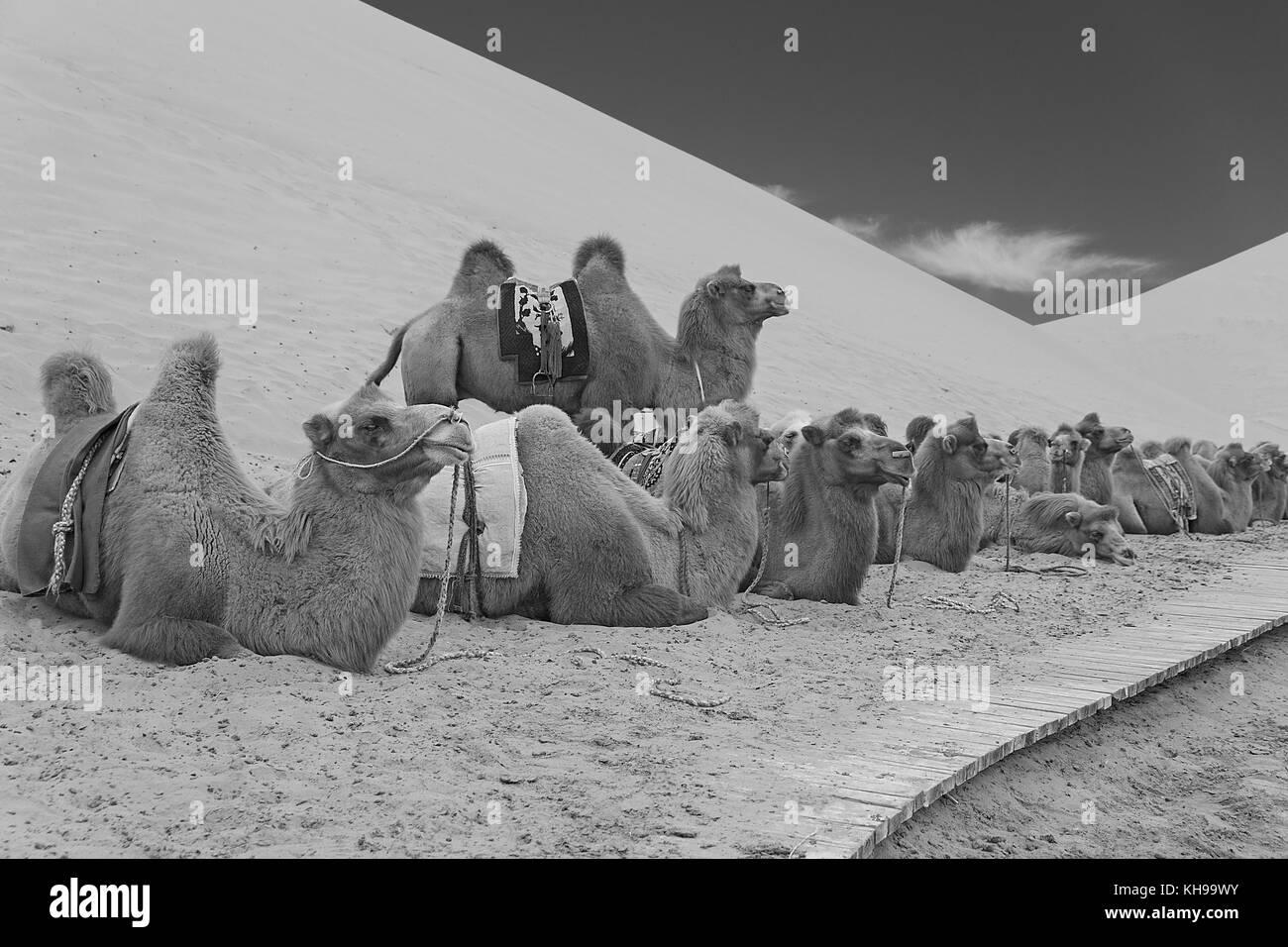 camels resting, badain jaran Stock Photo