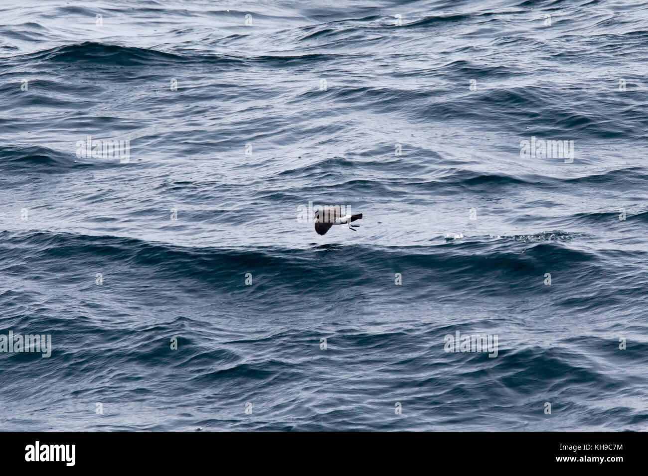 A black-bellied storm-petrel feeds over the open ocean in the middle of the Atlantic Ocean - Stock Image
