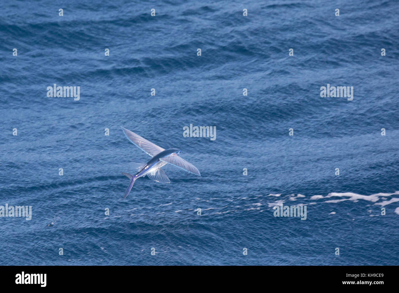 A flying fish with fins spread wide gliding above the surface of the water off the coast of Brazil Stock Photo