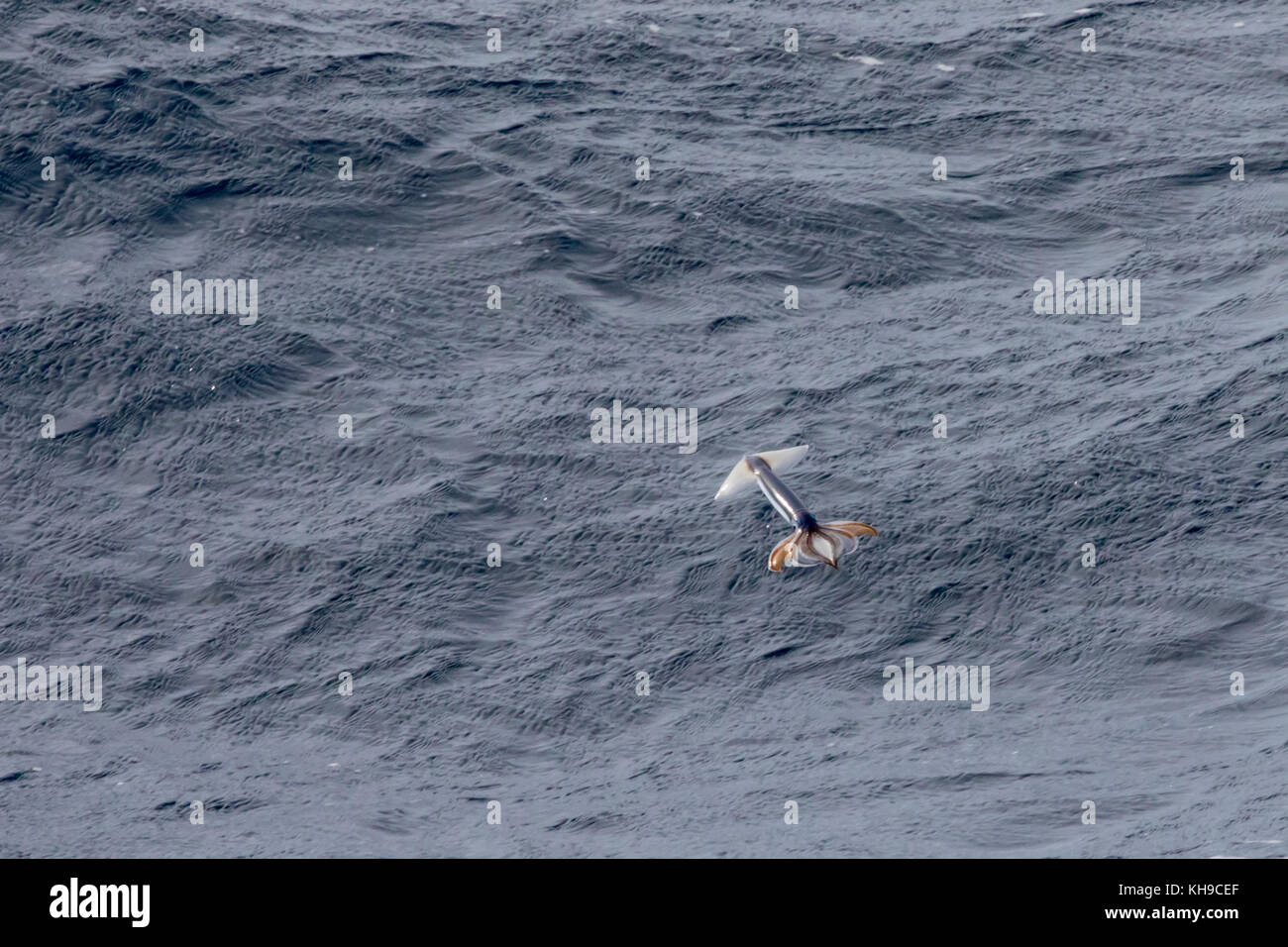 Little known flying squid take off from the water by jet propulsion to escape predation in the middle of the Atlantic Stock Photo